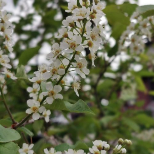 Schubert Chokecherry Flower Close Up