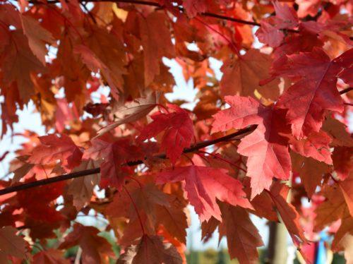 Autumn Blaze Maple Fall