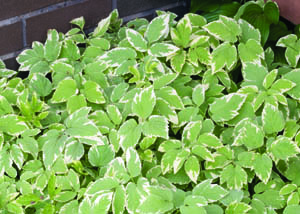 Bishops Variegated Goutweed in Full