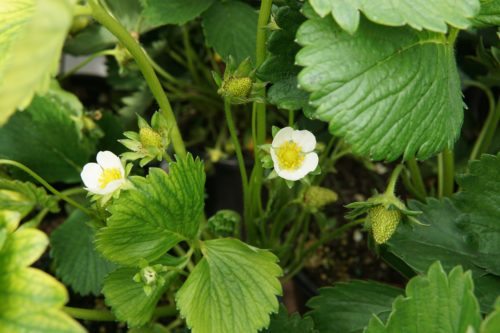 Albion Strawberry close up