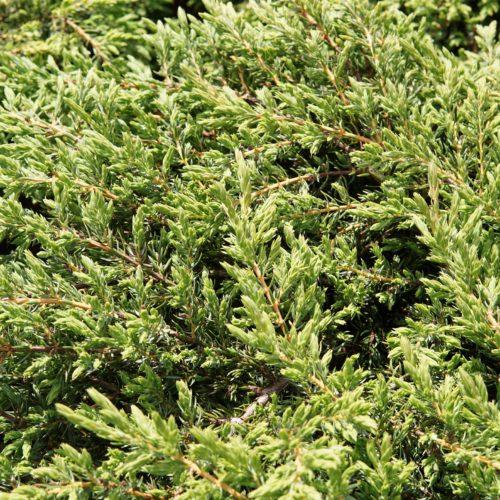 Alpine Carpet Juniper