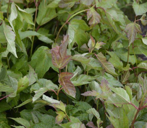 American Highbush cranberry