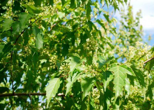 Amur Maple Tree Flower Close Up