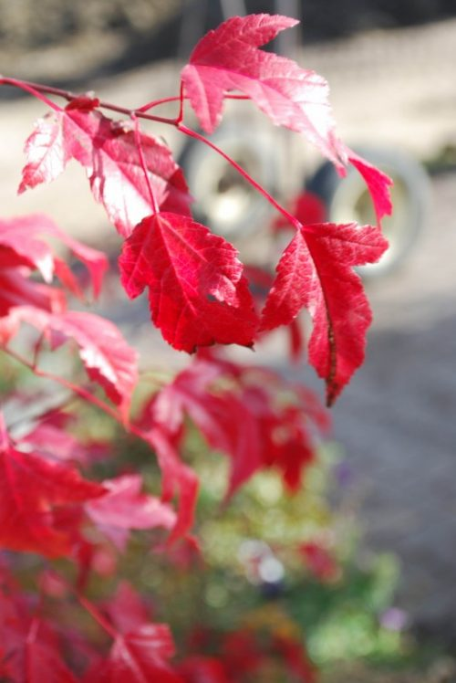 Amur Maple Tree Fall Colours