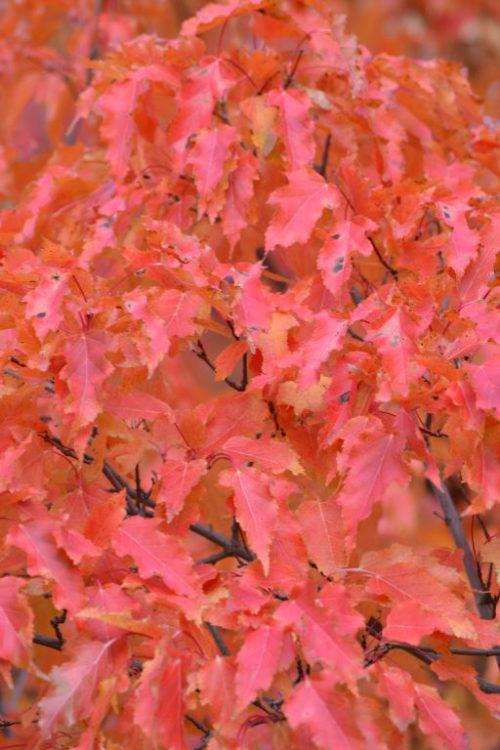 Amur Maple Shrub Fall Colours