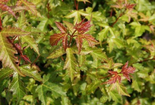 Amur maple shrub