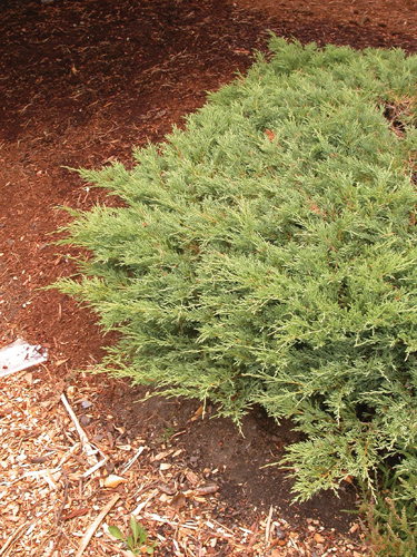 Andorra Compact Juniper Full Shrub