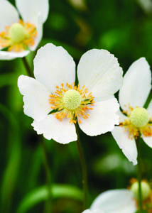 Snowdrop Anemone Flower Close Up