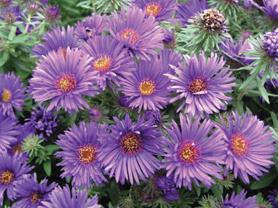 Purple Dome Aster in Flower