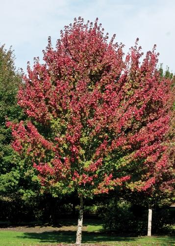 Autumn Blaze Maple Full Tree