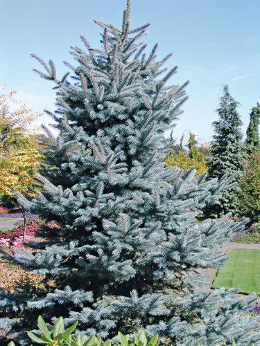 Baby Blue Eyes Spruce Full Tree