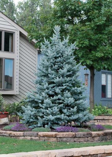 Bakeri Spruce Full Tree