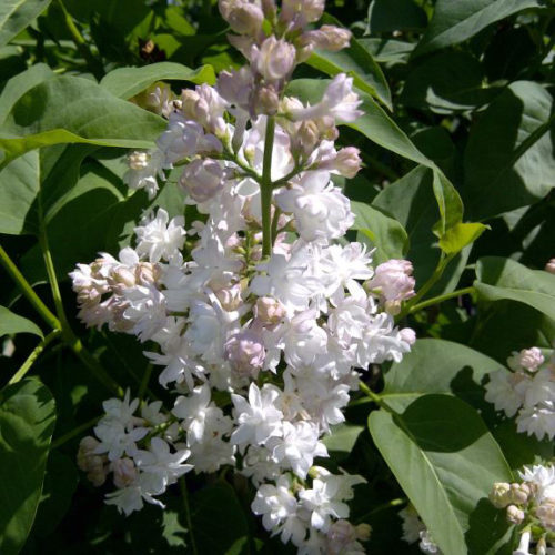 Beauty of Moscow Lilac Flower Close Up