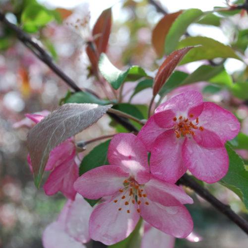 Big River Crabapple Flower Close Up