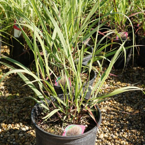Blood Brothers Switch Grass