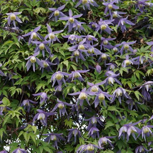 Blue Clematis fence