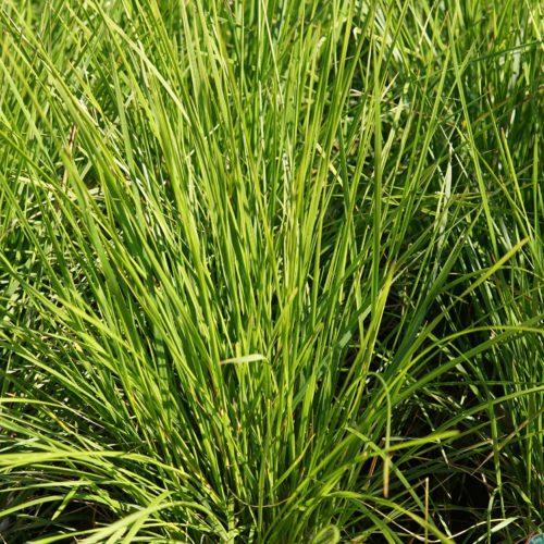 Bronze Tufted Hair Grass