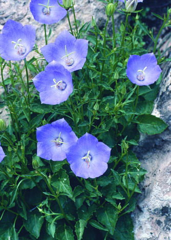 Pearl Deep Blue Clips Bellflower in Flower
