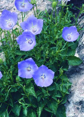 Pearl Deep Blue Clips Bellflower in Flower