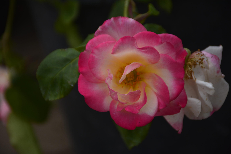 Campfire Rose Flower Close Up