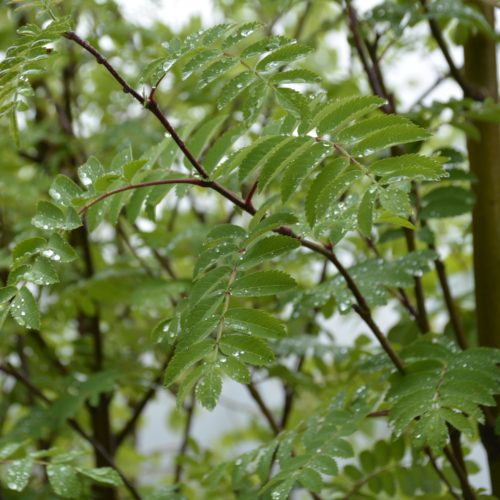 Cardinal Royal Mountain Ash leaves