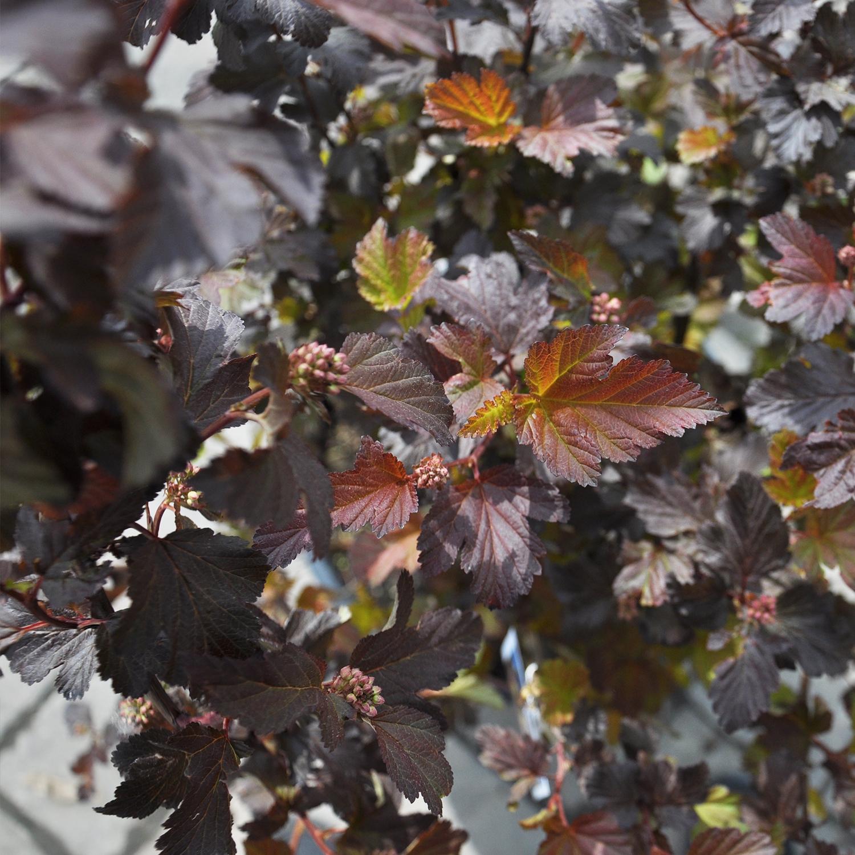 Center Glow Ninebark Foliage Close Up
