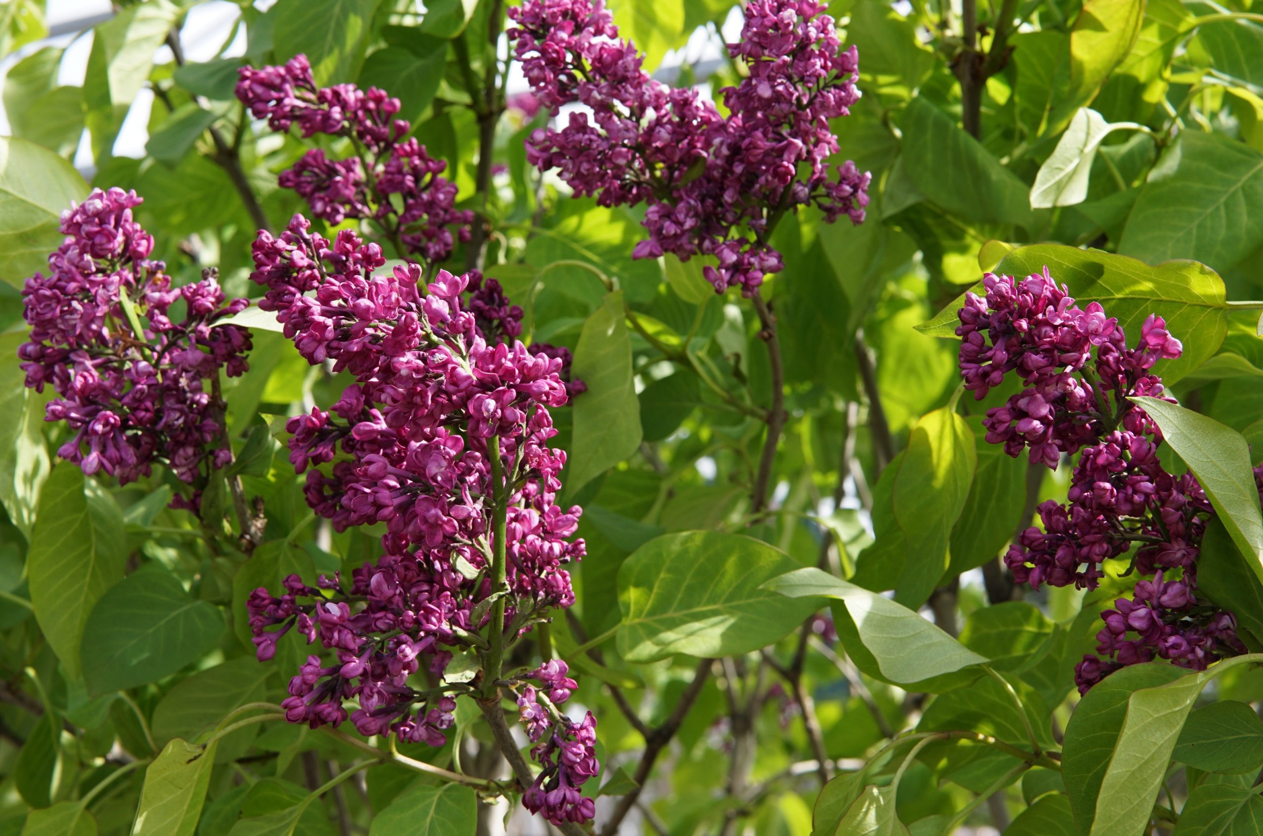 Charles Joly Top Grafted Lilac Flower Close Up