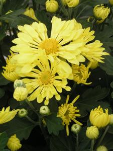 Mammoth Yellow Quill Garden Mum Flower Close Up