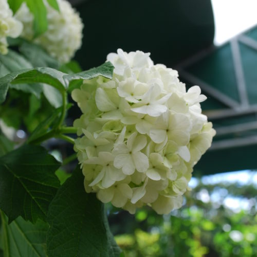 Common Snowball Flower Close Up