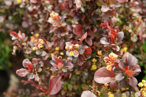 Concord Barberry close up