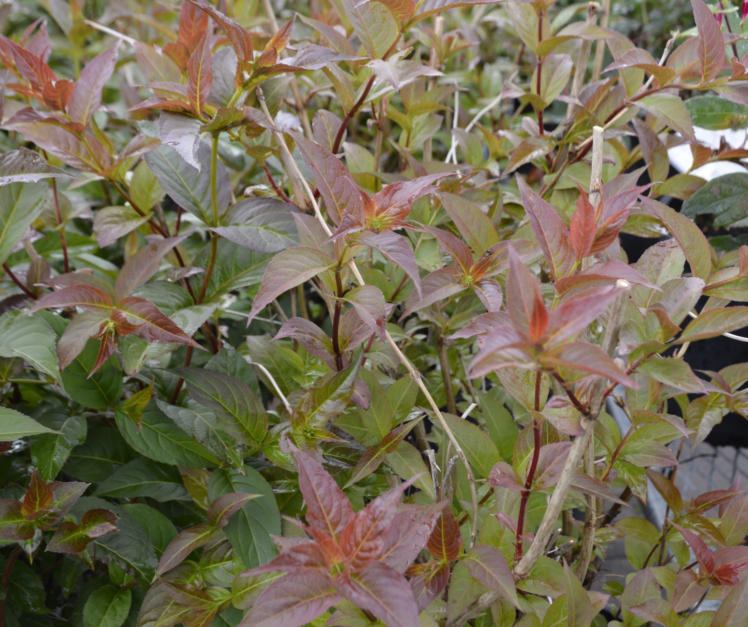 Copper Dwarf Bush Honeysuckle