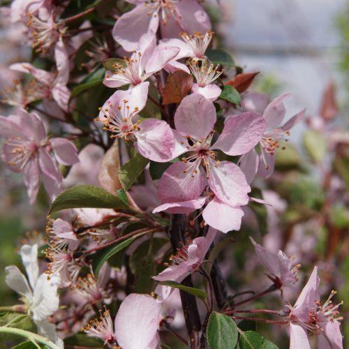 Courageous Crabapple Bloom