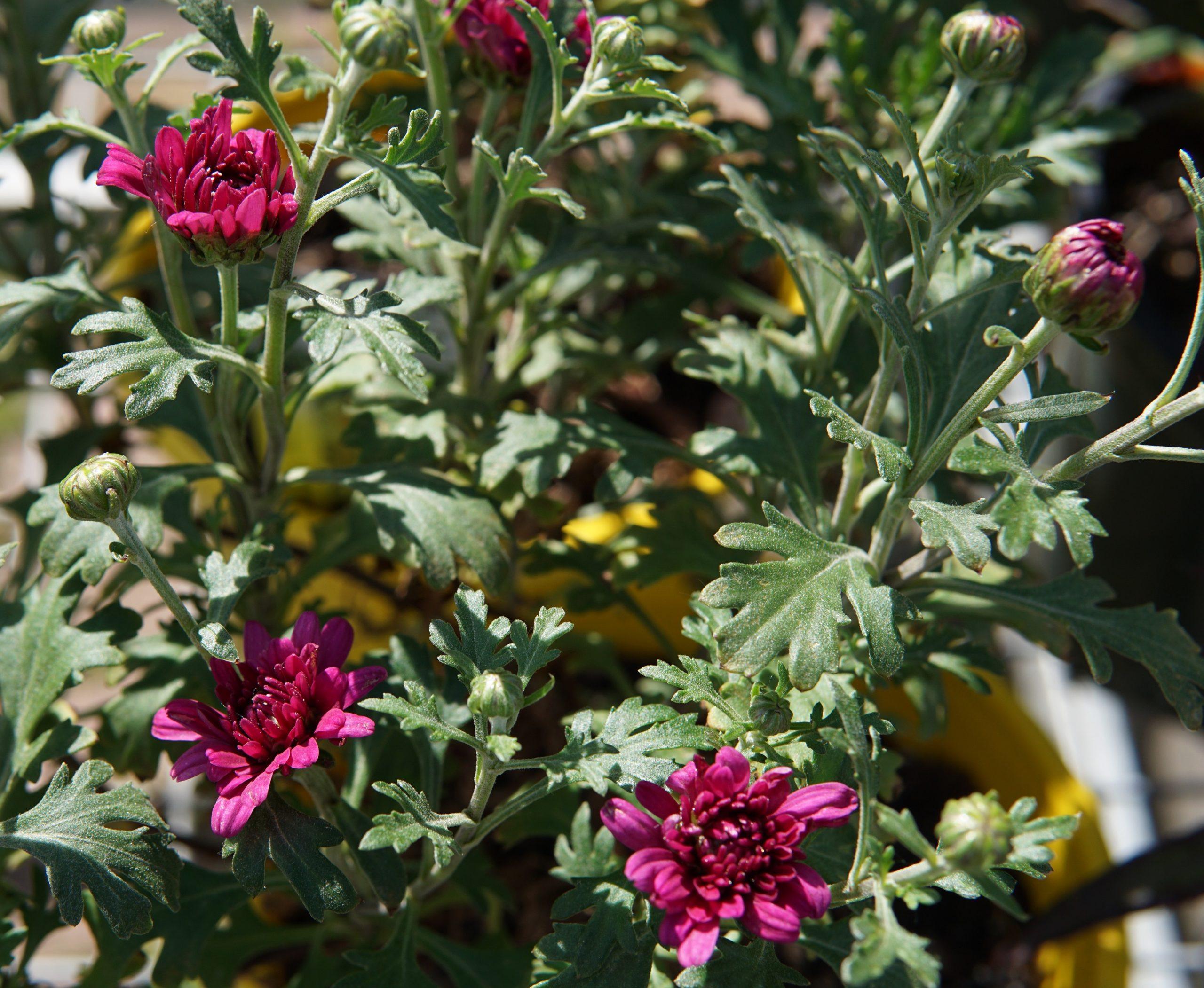 Mammoth Lavender Daisy Garden Mum
