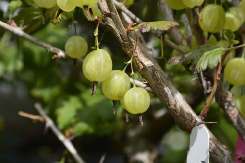 Pixwell Gooseberry Fruit Close Up