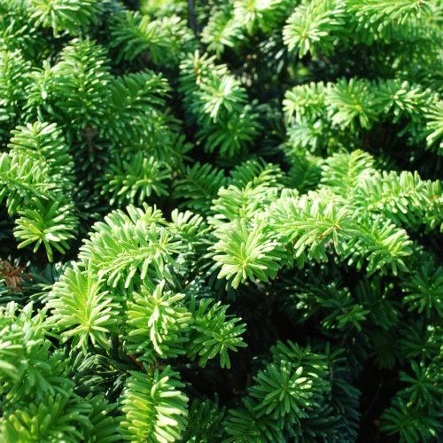 Dwarf Balsam Fir Foliage Close Up