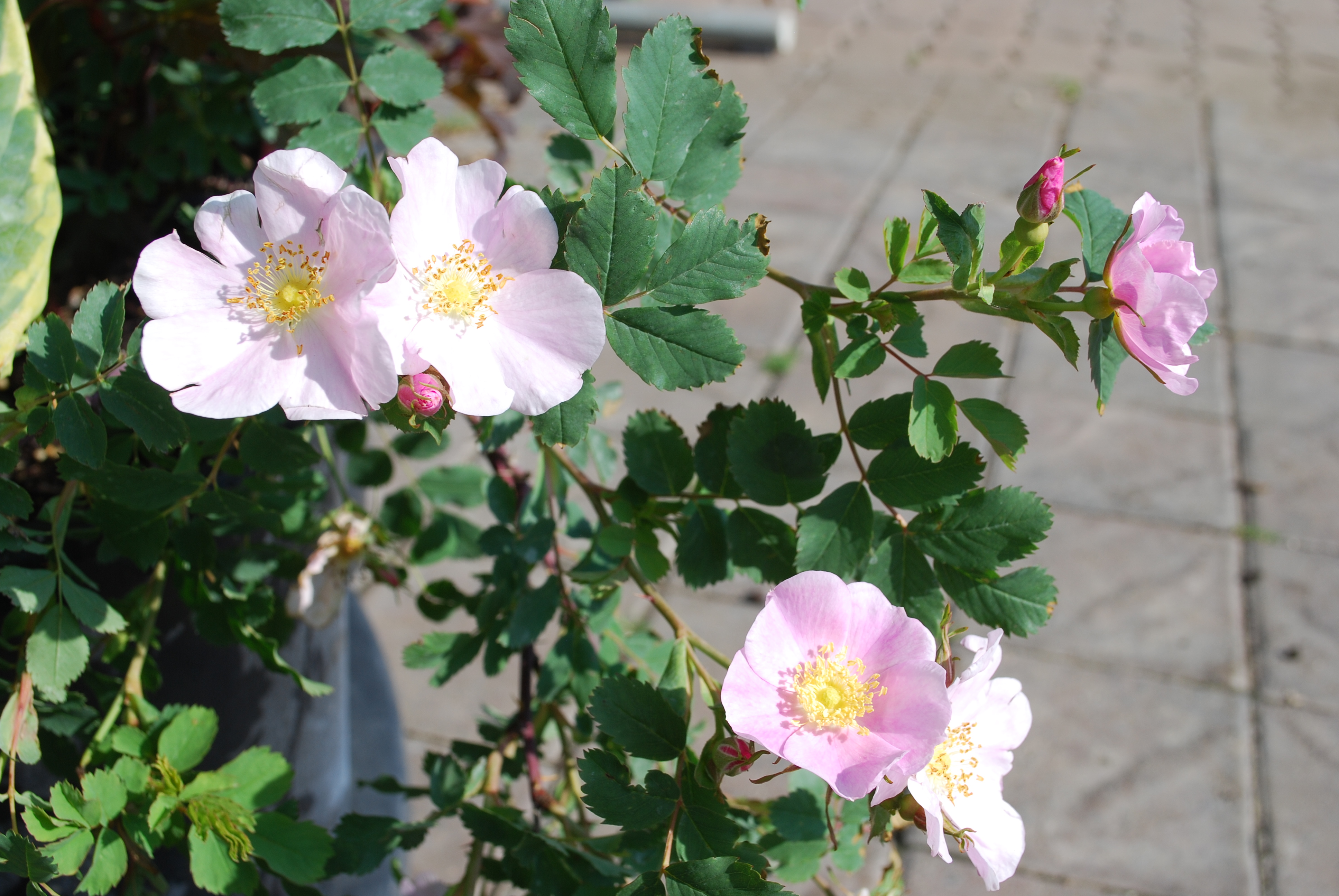 Prickly Rose in Flower
