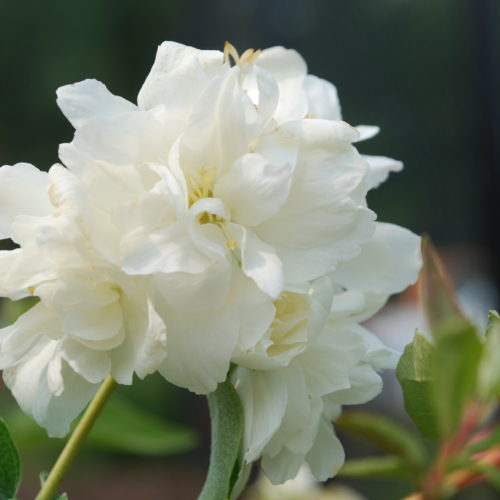 Minnesota Mock Orange Flower Close Up