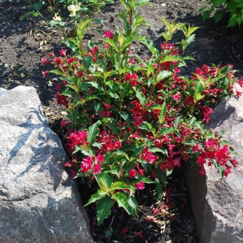 Red Prince Weigela Full Shrub