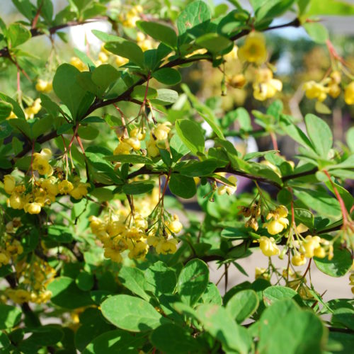 Emerald Carousel Barberry Flower Close Up
