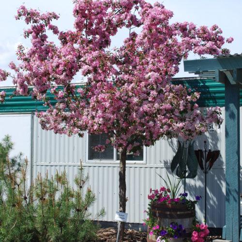 Rudolph Crabapple Tree in Flower