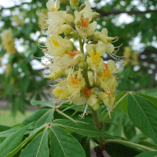 Ohio Buckeye Flower Close up