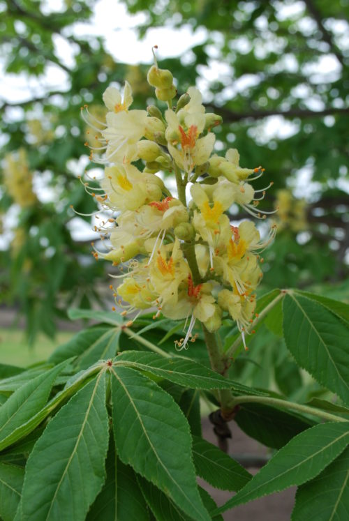 Ohio Buckeye Flower Close up