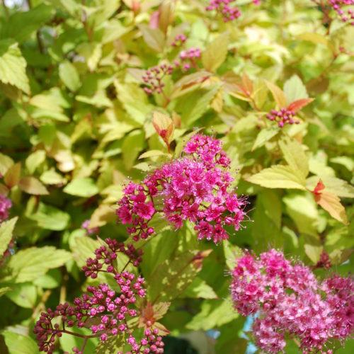 Magic Carpet Spirea Flower Close Up