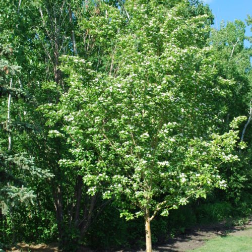 Toba Hawthorn Full Tree