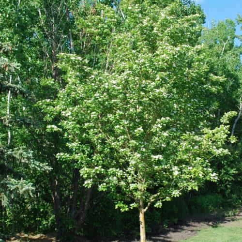 Toba Hawthorn Full Tree