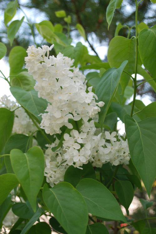 Mme. Lemoine Lilac Flower Close Up