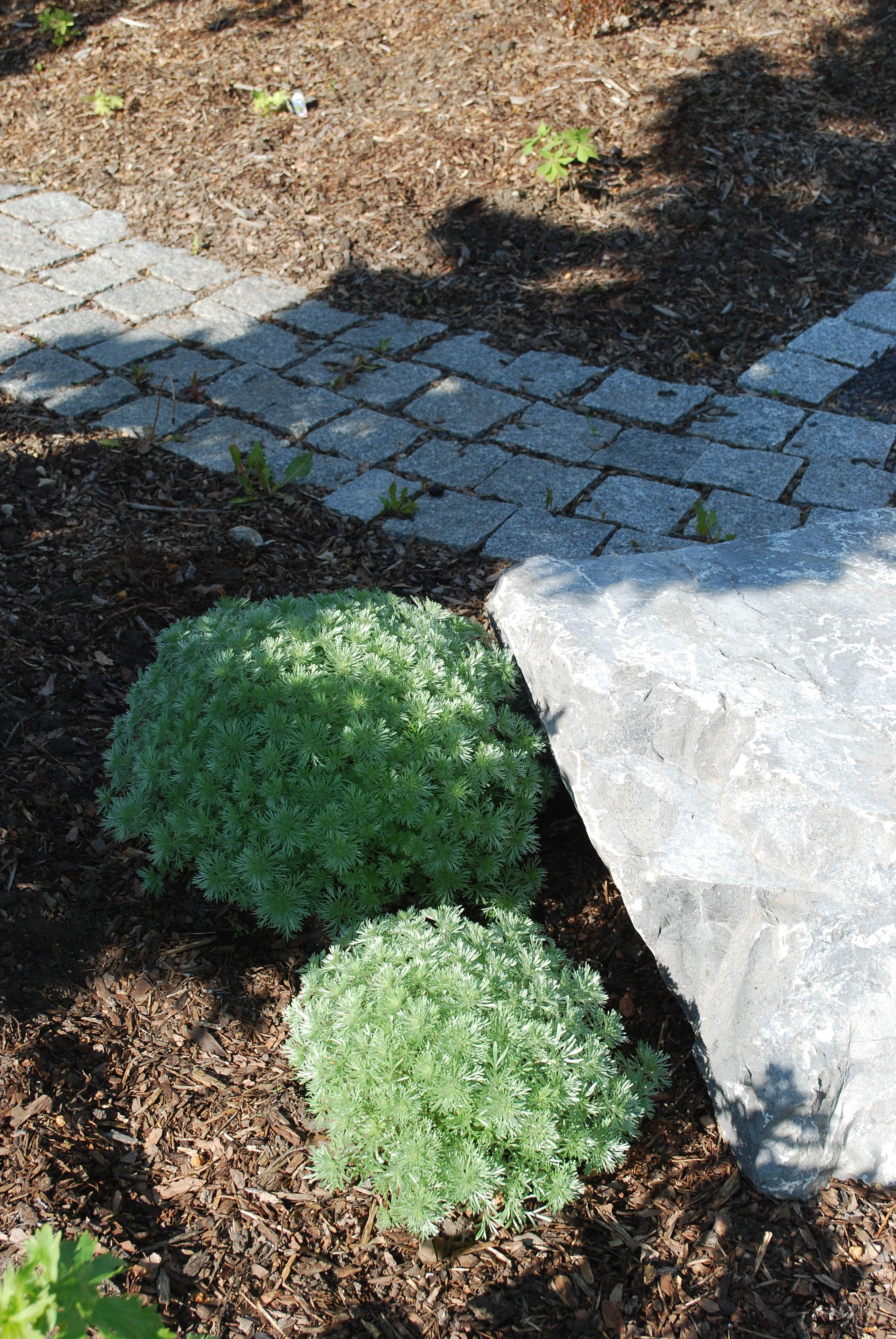Silver Mound Artemisia in Full