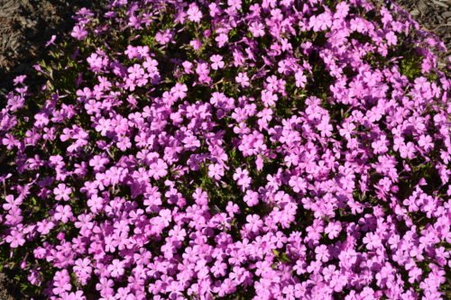 Emerald Pink Creeping Phlox in Flower