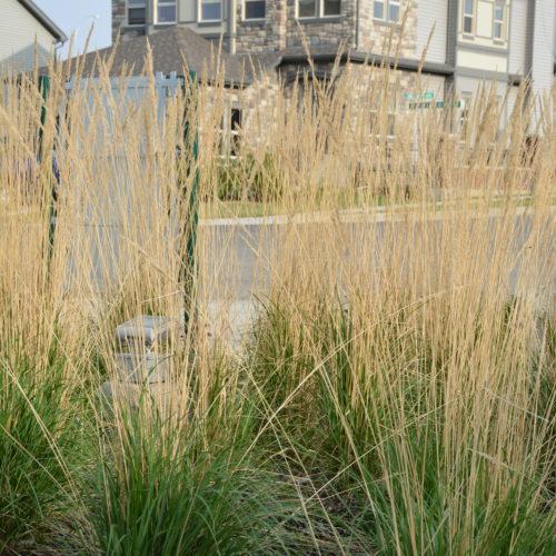 Karl Foerster Reed Grass in Full