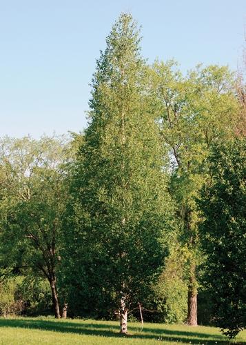 Dakota Pinnacle Birch Full Tree